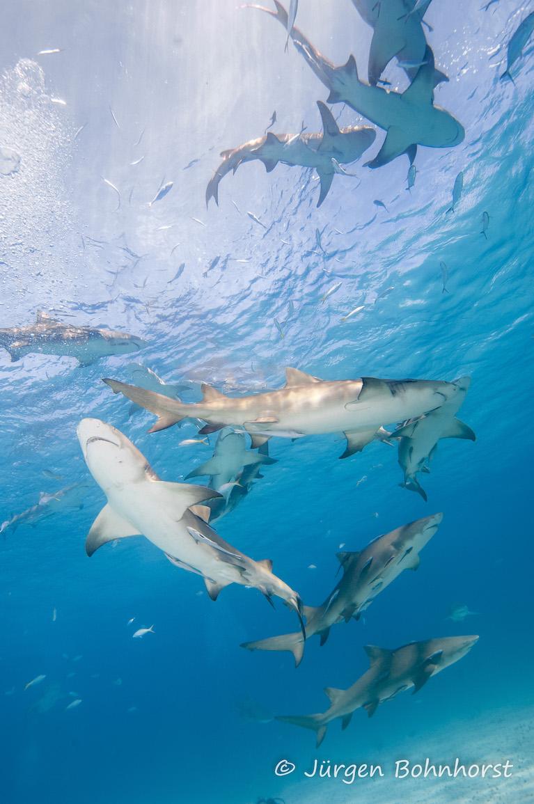 Zitronenhaie |Bahamas, Tauch Club Maritim e.V.